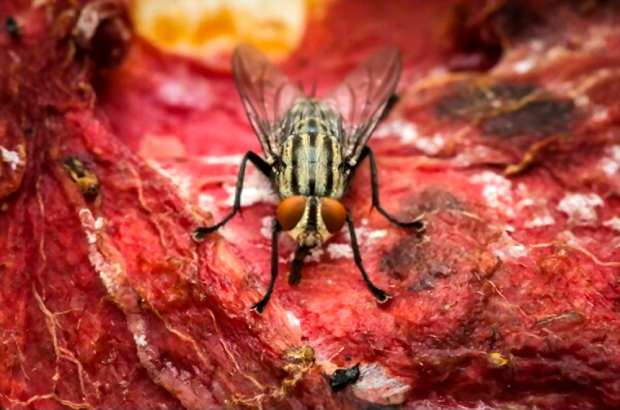 A picture showing a fly on some smelly meat